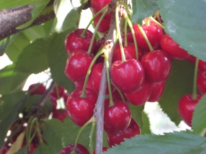 a cluster of cherries