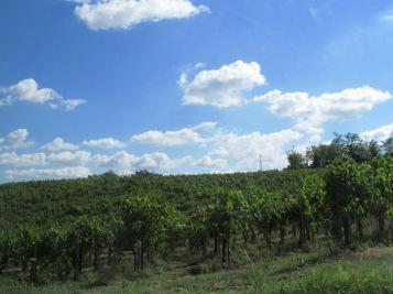 A vineyard close to Isola del Piano