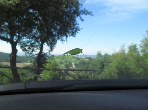 A grasshopper on the windshield