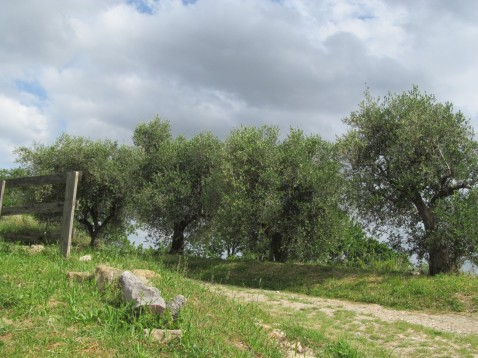 a path underneath olive trees