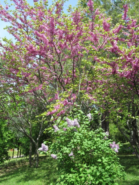 Lilac and Judas tree - lillà e albero di Giuda