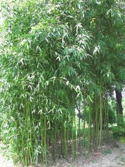 Bamboo - canne di bambù