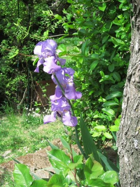 Iris - iris (the same in Italian)