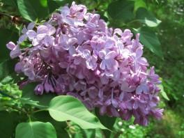 Lilac - Fiore di lillà