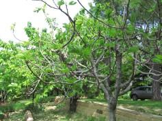 Fig tree and cherry tree - fico e ciliegio in the back