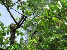 Cherry tree with young cherries on its branches - ciliegio con ciliegine sui rami