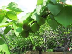 Apricots - albicocche