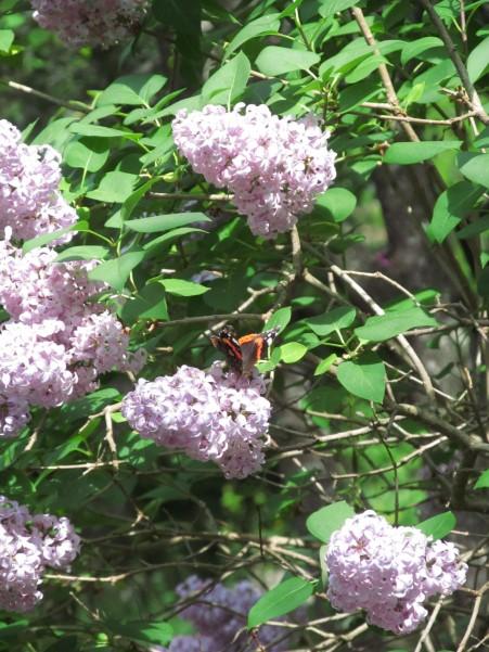 Lilac with butterfly - lillà con farfalla