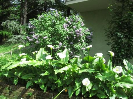 Calla lilies and lilac in the back - calle e cespuglio di lillà sul retro