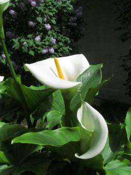 Calla lily - calla